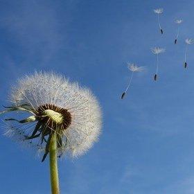 SH Health Dandelion Spring