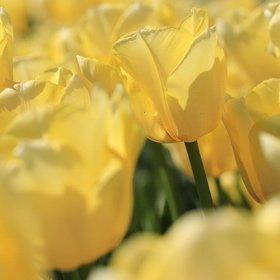 SH Spring Tulips